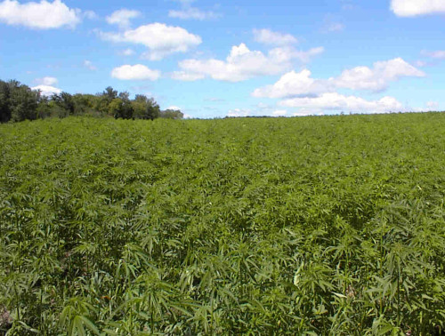 hemp_field_foto_vast_from_hempglobalsolutionscom
