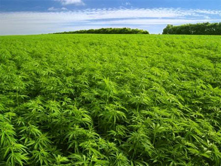 weed.field,1